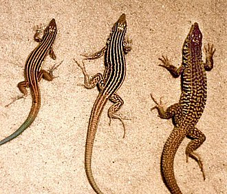 Parthenogenesis - The asexual, all-female whiptail species Aspidoscelis neomexicanus (center), which reproduces via parthenogenesis, is shown flanked by two sexual species having males, A. inornatus (left) and A. tigris (right), which hybridized naturally to form A. neomexicanus.