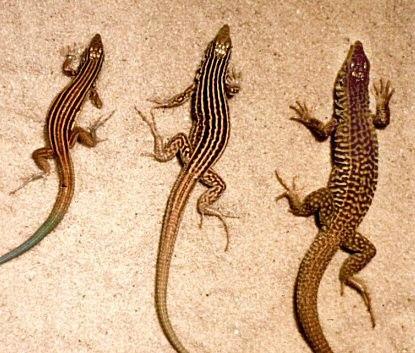 Cnemidophorus-ThreeSpecies