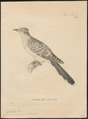 Coccystes glandarius - 1700-1880 - Print - Iconographia Zoologica - Special Collections University of Amsterdam - UBA01 IZ18800253.tif