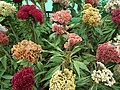 Cockscomb from Lalbagh flower show Aug 2013 8423.JPG