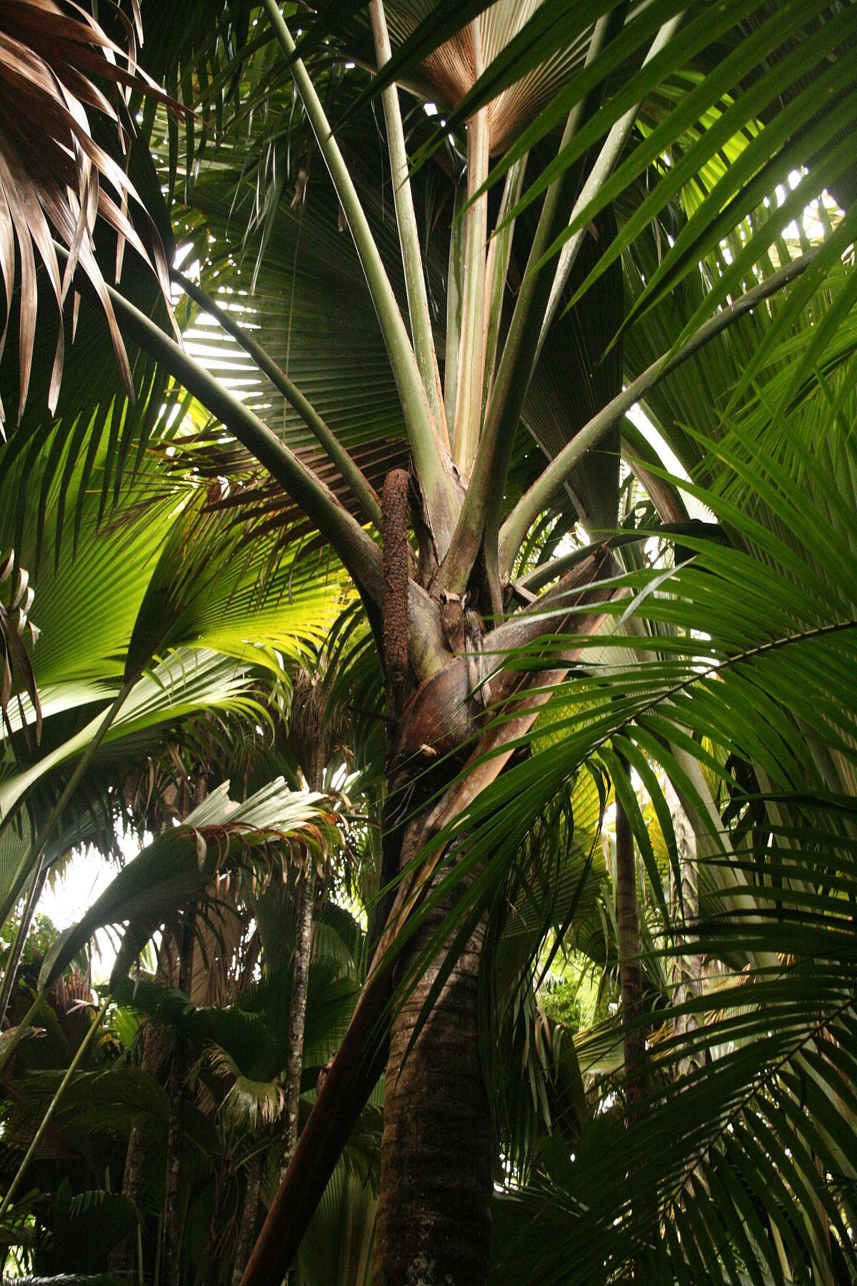 Cocotier de mer vikidia l encyclop die des 8 13 ans - Palmier cocotier ...