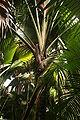 Coco de mer male flower.jpg