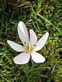Colchicum hungaricum closeup 01.JPG