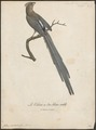 Colius capensis - 1796-1808 - Print - Iconographia Zoologica - Special Collections University of Amsterdam - UBA01 IZ19300001.tif