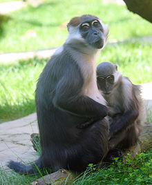 Collared mangabey, mother and child.jpg