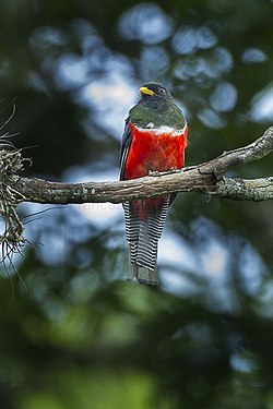 Collared trogon - Mexico S4E7481 (16120375880).jpg