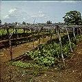 Collectie Nationaal Museum van Wereldculturen TM-20029716 Groenteteelt, beschermt tegen de zon, op Plantage Aruba Bonaire Boy Lawson (Fotograaf).jpg