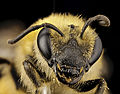 Colletes hederae, f, country unk, face 2014-08-09-18.06.18 ZS PMax (15126328515).jpg