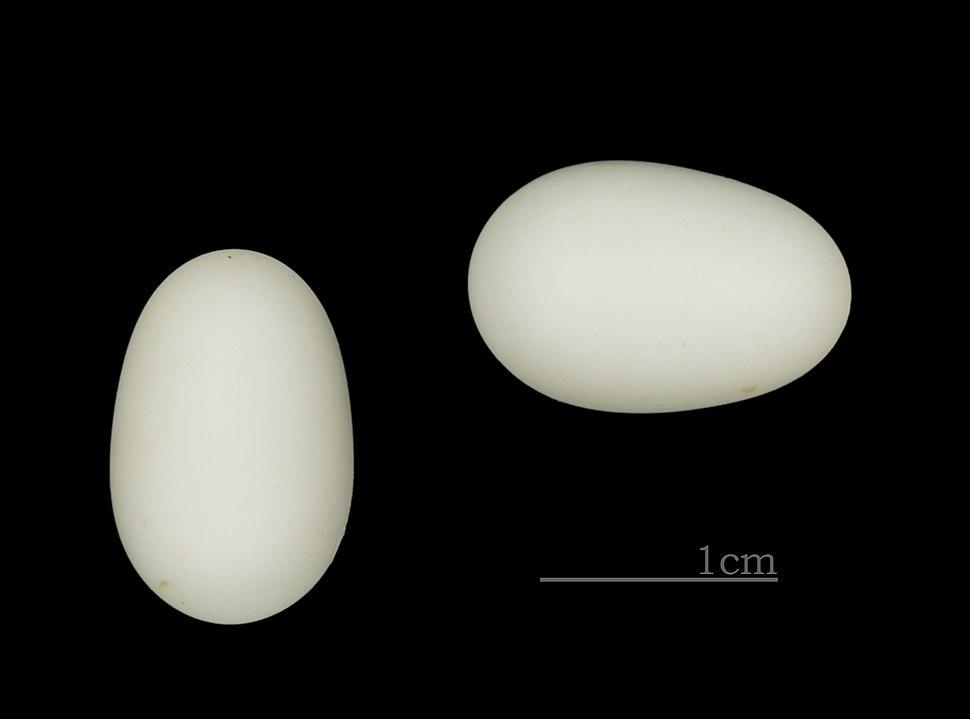 Collocalia esculenta uropygialis MHNT ZOO 2011 11 189 RdN N-Calédonie