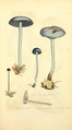 Coloured Figures of English Fungi or Mushrooms - t. 187.png