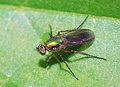 Colourful fly (2603668677).jpg