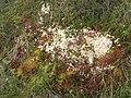 Colourful mosses on Redburn Edge - geograph.org.uk - 516864.jpg
