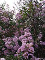 Colours of Earlier Autumn- Unknown flower in spring pink.jpg