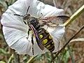 Colpa sexmaculata (Scoliidae) - (imago), Narbolia (comuni), Italy.jpg