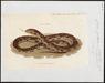 Coluber guttatus - 1700-1880 - Print - Iconographia Zoologica - Special Collections University of Amsterdam - UBA01 IZ12100253.tif