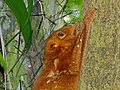 "Colugo (Cynocephalus variegatus) "" red "" morph (8064072543).jpg"