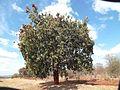 Combretum collinum01.jpg