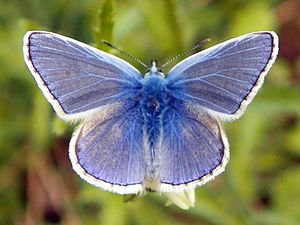 Common Blue (Polyommatus icarus), Fairlands Valley Park.jpg