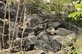 Common Cuckoo from Mordham Dam Nagpur JEG3633.jpg