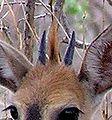 Common Duiker1 horns.jpg