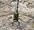 Common Goldenring. Cordulegaster boltonii (39070244761).jpg