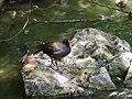 Common Moorhen in NEO PARK OKINAWA, Japan.jpg