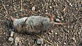 Common Shrew (Sorex araneus) - Oslo, Norway 2020-08-30 (01).jpg