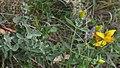 Common St. John's-Wort (Hypericum perforatum) - Nesodden, Norway 2020-09-20.jpg