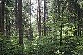 Coniferous forest- sächsische Schweiz.jpg