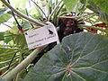 Conservatoire du bégonia 2015. Begonia 'Zelda's Problem' x carrieae 04.JPG