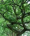 Contortions in Oak - geograph.org.uk - 439377.jpg