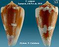 Conus exiguus 3.jpg