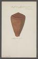 Conus figulinus - - Print - Iconographia Zoologica - Special Collections University of Amsterdam - UBAINV0274 086 03 0013.tif