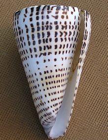 Conus leopardus 003.jpg