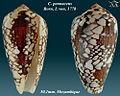 Conus pennaceus 9.jpg