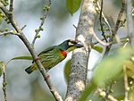 Coppersmith Barbet 6982.jpg
