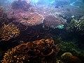 Coral, all coral^^ Mabini, Batangas - panoramio.jpg