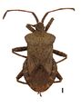 Coreus marginatus on white.png