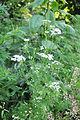 Coriandrum sativum Coriander ქინძი (3).JPG