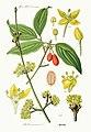 Cornus mas - Prof. Dr. Thome-s Flora von Deutschland ... (Pl. 391) clean.jpg