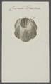 Coronula diadema - - Print - Iconographia Zoologica - Special Collections University of Amsterdam - UBAINV0274 101 02 0033.tif