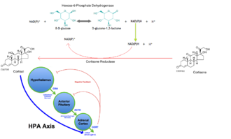 Cortisone reductase deficiency - An overview of how cortisone reductase is driven by NADH production by hexose-6-phosphate and how it affects the HPA Axis in a healthy body.