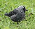 Corvus monedula Oulu 20140830.JPG