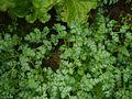 Corydalis ¿ species ? (7855285888).jpg