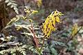 Corydalis pallida var. tenuis 10.jpg