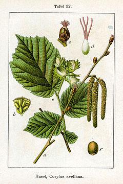 Deutschlands Flora in Abbildungen (1796)/ 4. Buch ...