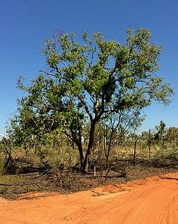 <i>Corymbia polycarpa</i> Species of plant