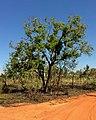 Corymbia polycarpa.jpg