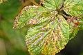 Coryneopsis.rubi.-.lindsey.jpg
