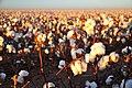 Cotton field kv24.jpg